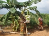production-of-bannana-on-barren-land-we-can-get-success